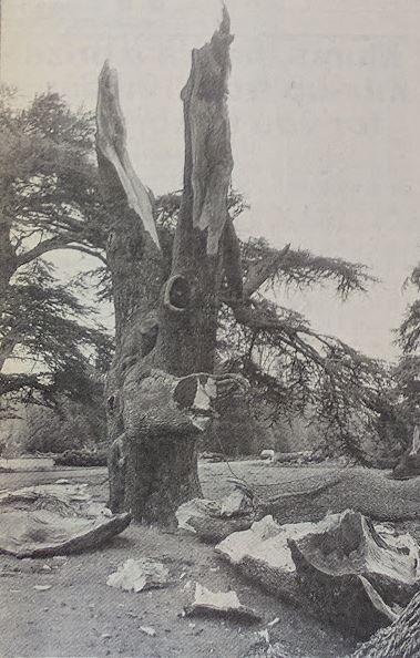 Storm power: a tree devastated by the storm in West Dean gardens