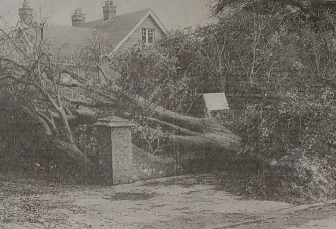 A collapsed tree on Chichester's The Avenue